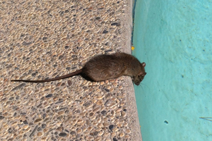 Control or Eliminate Rodents in Washington