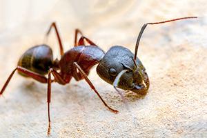 2020 Ant Exterminator Cost Carpenter Ant Treatment Homeadvisor