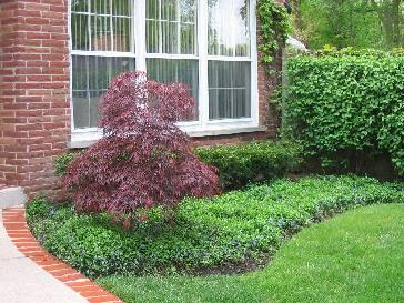 Dwarf Lilac Blue Spruce Japanese Maple And More Pictures